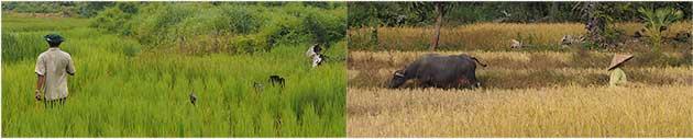 Les rizières en Asie du Sud-Est à la période des pluies et à la période des récoltes.