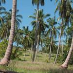 Thaïlande image prairie de cocotiers sur une île. Images et textes proposés par Frangipanier, votre boutique mobile de créations d'artisanat d'Asie du Sud-Est.